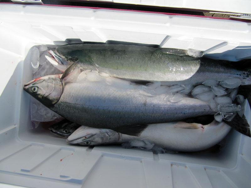 Skagit river pink salmon -web