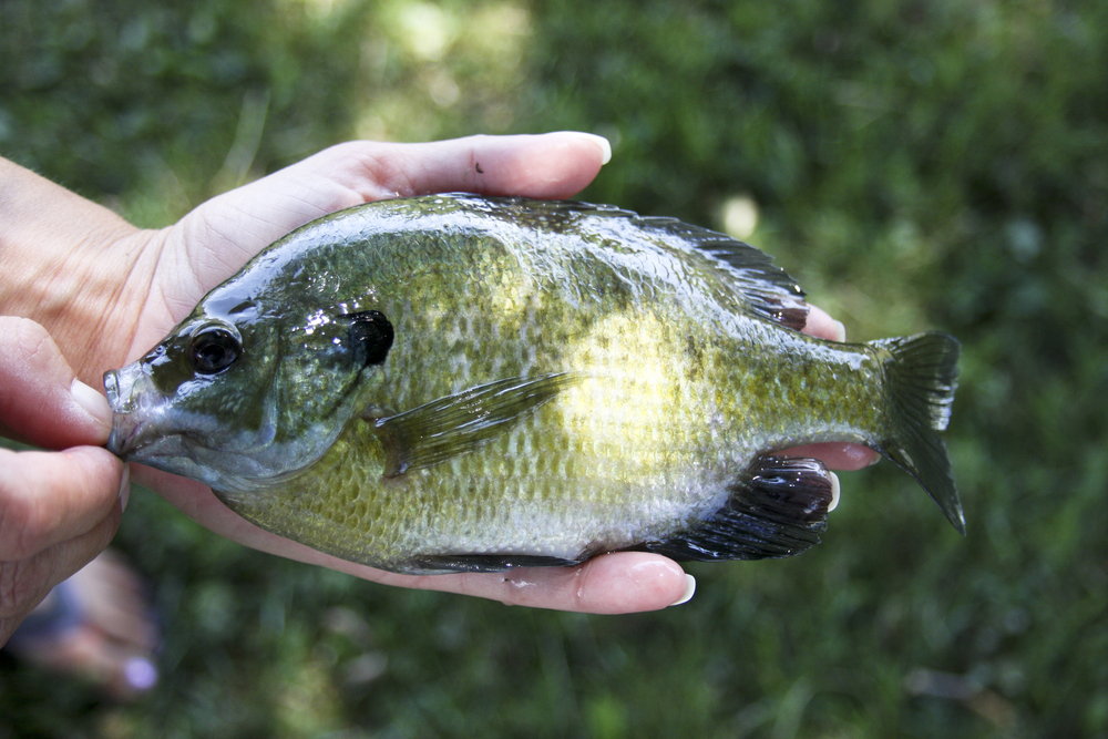 Bluegill Fishing Tips